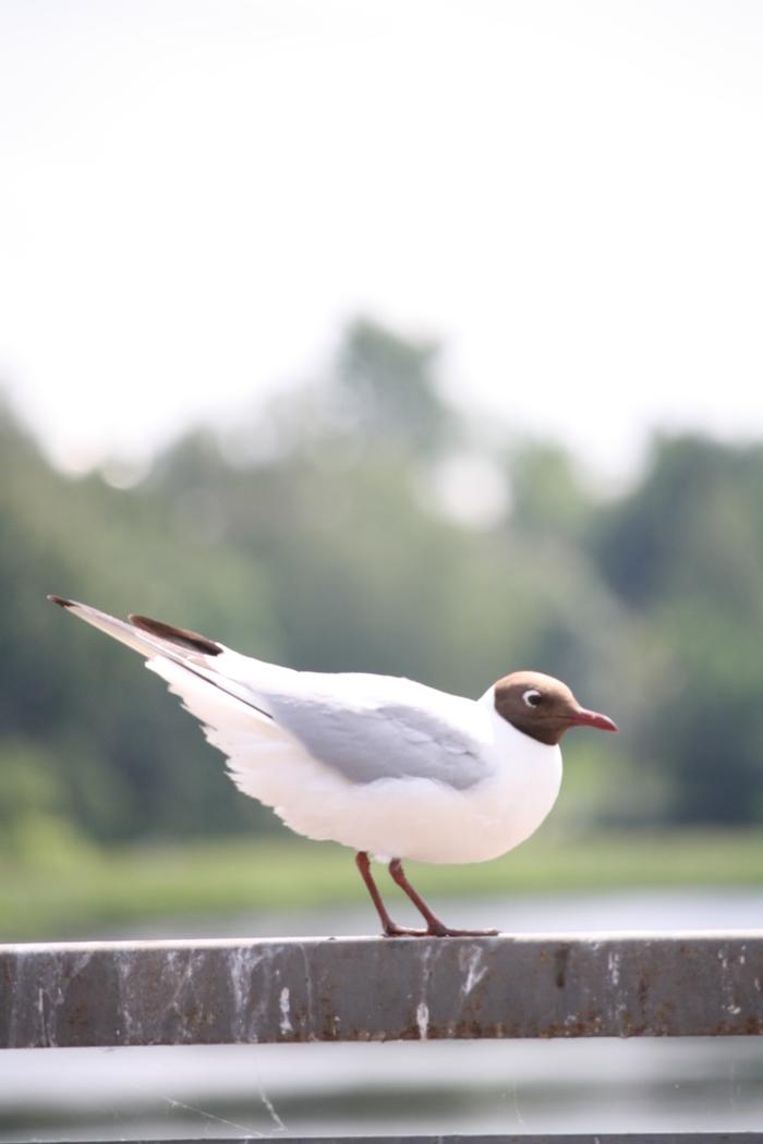 Чайка Чайки, Птицы, Фотография