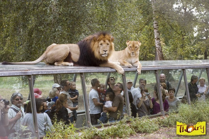 Люди и животные поменялись местами. Сафари-Парк, Париж, Лев