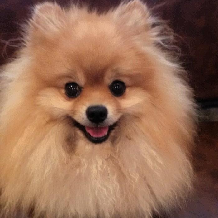Испортили всю собаку Собаки и люди, Померанский шпиц, Любовь к животным, Саня и Марина, Длиннопост