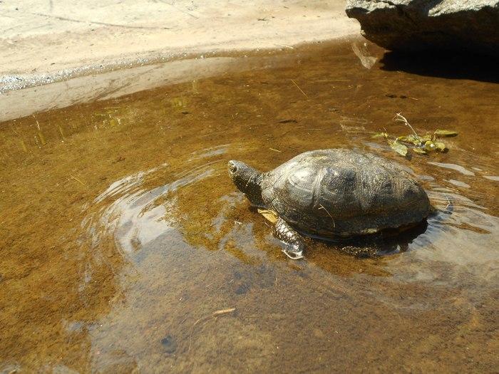 Черкасские болотные черепахи Черепаха, Черкассы, Украина, Парк, Длиннопост