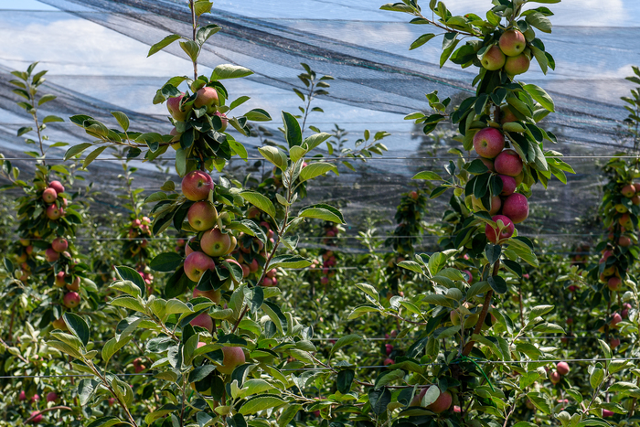 Город для яблок Сельское хозяйство, Яблоки, Сад, Технологии, Импортозамещение, Урожай, Плодоводство, Длиннопост