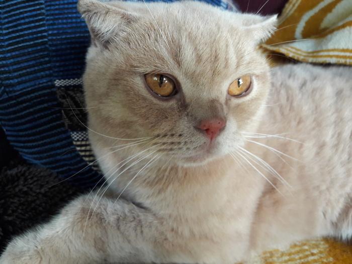 Красногорск мо Нашли кота - Ищем хозяев Кот, Потерялся, Ищу, Британцы, Шотландец, Красногорск, Длиннопост