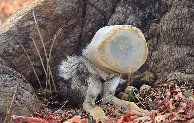 Полуживой волк с бутылкой на голове случайно попал в кадр, и это его спасло Индия, Волк, Спасение животных, Длиннопост