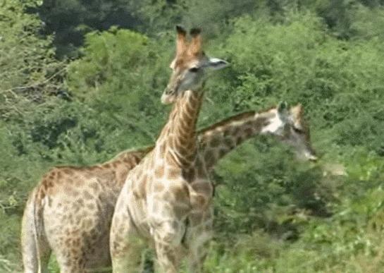 Иногда жирафы обгладывают кости Жираф, Мясоеды, Веганы, Интересное, Биология, Африка, Гифка, Видео
