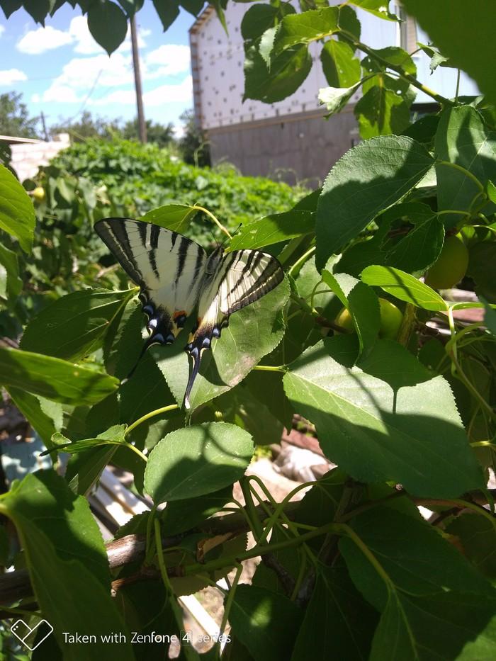 Что за бабочка Бабочка, Саратов, Длиннопост