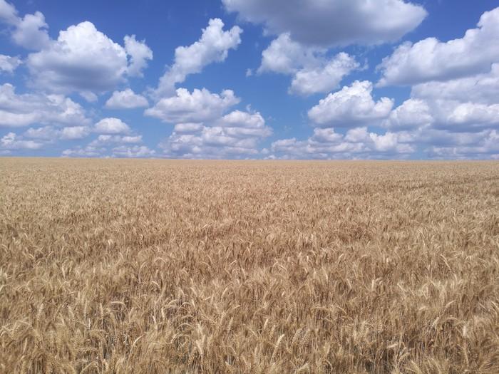 Поле. Безмятежность. Пшеница Поле, Пшеница, Фотография, Сельское хозяйство
