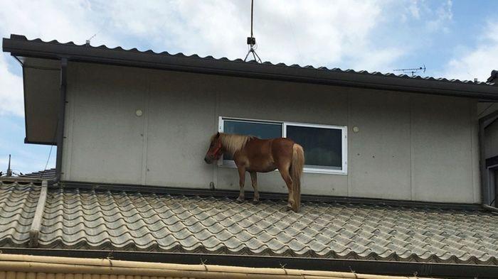 Японская Плотва: миниатюрная лошадка была найдена на крыше здания через три дня после исчезновения во время наводнения в Японии Новости, Фотография, Ведьмак, Япония, Наводнение, Спасение, Лошади, Животные, Длиннопост
