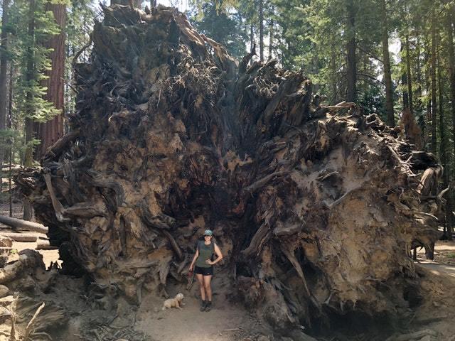 Корневая система упавшей гигантской Секвойи дерево, секвойя, корни