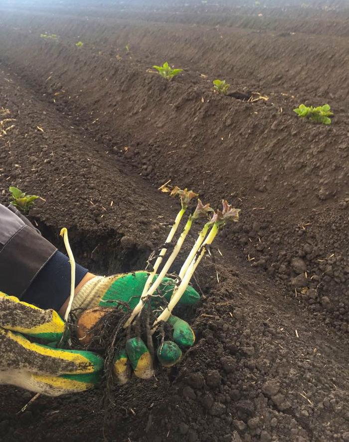 Да не треснет гребень! сельское Ñозяйство, картофель, теÑнологии, импортозамещение, урожай, длиннопост
