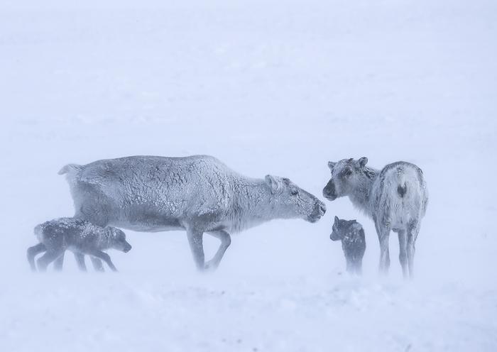 Метель. The National Geographic, Фотография, Олень, Детеныш, Снег, Метель