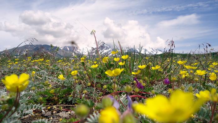 Цветущее подножье Авачинской сопки
