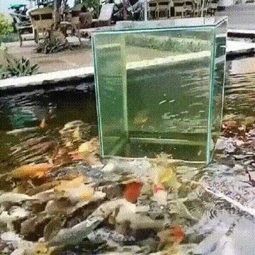 Панорамный аквариум для рыбы прямо в пруду Гифка, Видео, Рыба, Аквариум, Пруд, Автобус в час пик, Reddit
