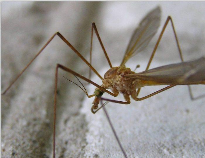 """""""Малярийный"""" комар нашего детства Комары, Тот самый детский страх, Детство, Длиннопост"""