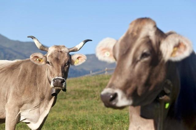 Нам бы их проблемы Швейцария, Корова, Рога, Курьез