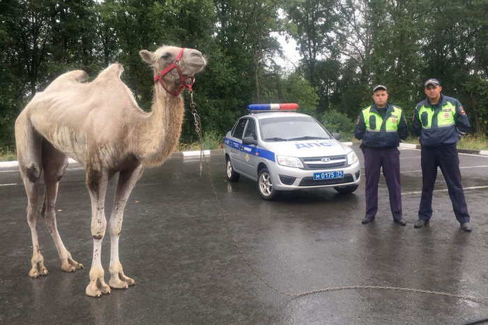 Сафари под Тулой Новомосковск, Верблюды, Полиция