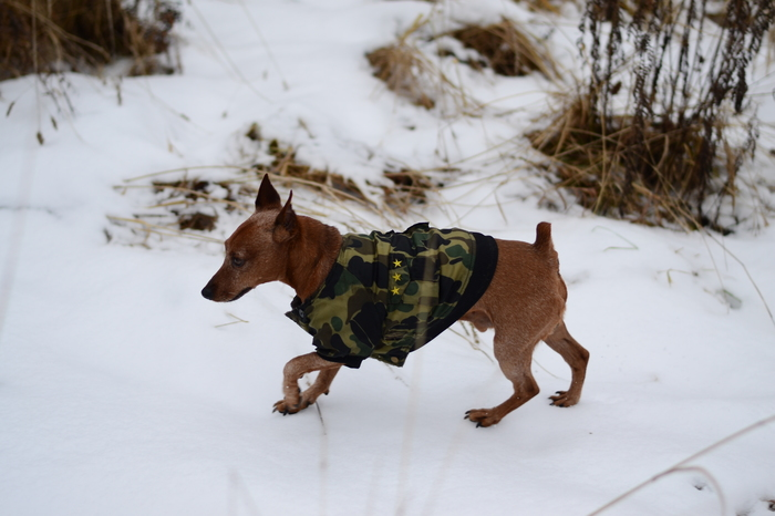 Пропал член семьи Потеряшка, Пропала собака, Карликовый пинчер, Длиннопост, Собака, Калужская область, Без рейтинга, Помощь