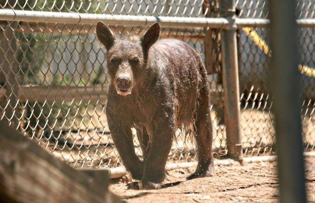 Полностью облысевшие медведи похожи на чупакабру фото Медведь, Лысый, Животные, Чупакабра, Длиннопост, Спасение животных