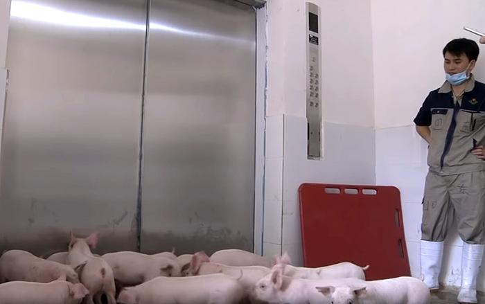 Как китайцы свиней в лифте катают Китай, Свиноводство, Высотная свиноферма, Новые технологии, Длиннопост
