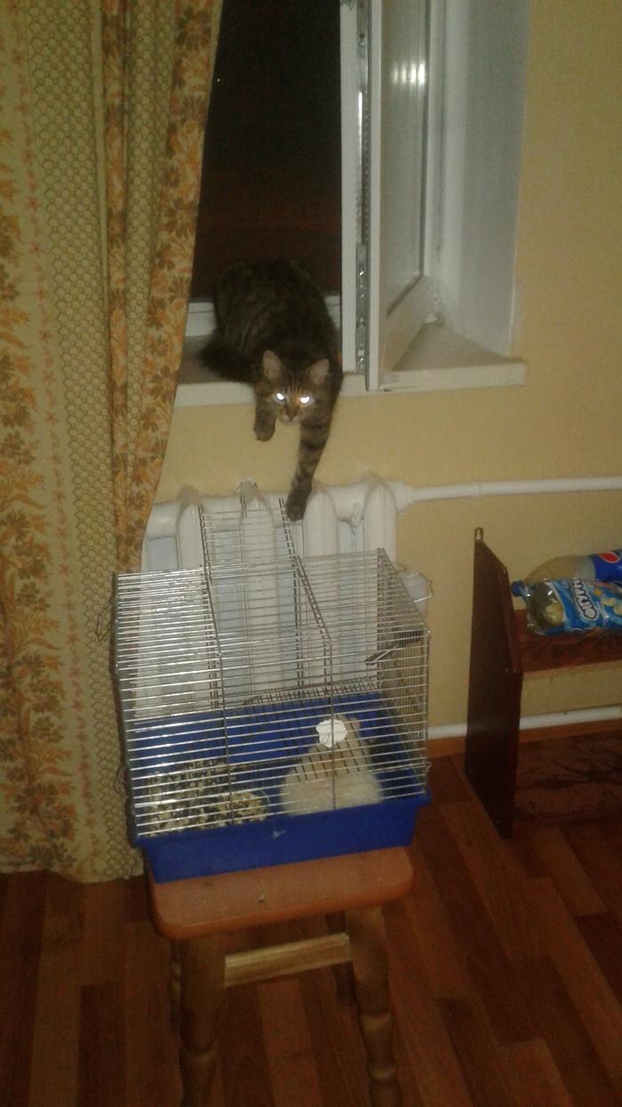 Это мояя добычааа... Кот, Крыса, Взгляд, Глаза светятся, Длиннопост