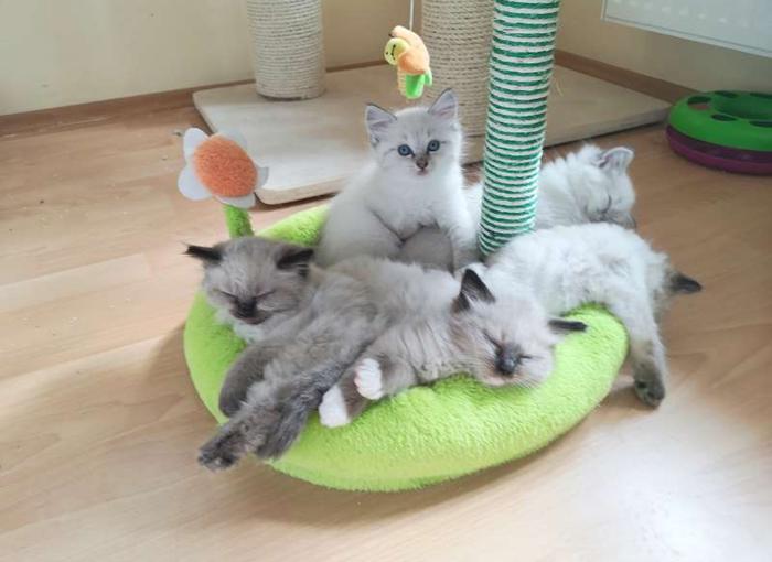 Тяжёлые будни котеек Кот, Регдолл, Ragdoll, Длиннопост