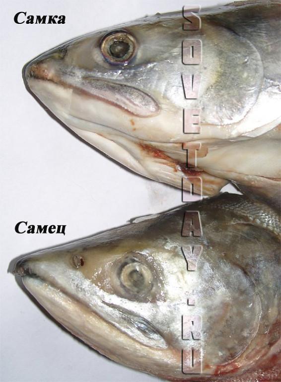 Как отличить горбушу с икрой от самца. Как самим засолить рыбу и икру Как отличить горбушу с икрой о, Как самим засолить рыбу и икру, Длиннопост