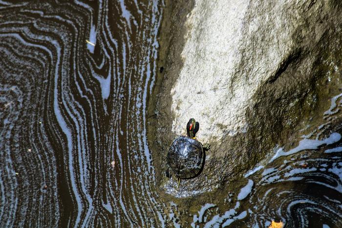 Черепашки прекрасны Черепаха, Природа, Фотография, Длиннопост