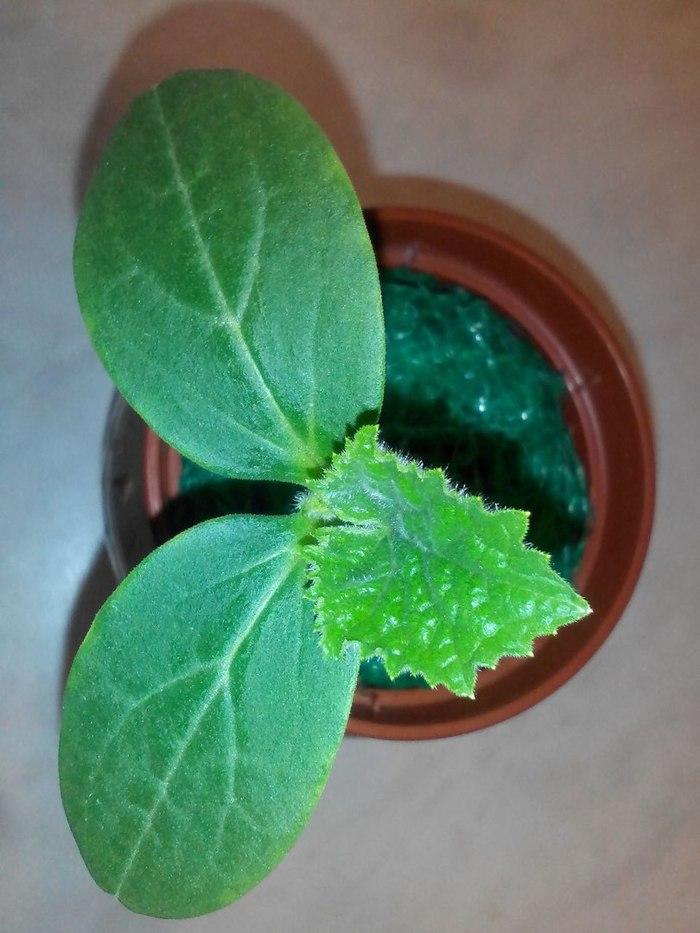 Как я огурцы выращивал. И даже вырастил :D Огурцы, Гидропоника, Огород на подоконние, Огород на балконе, Длиннопост