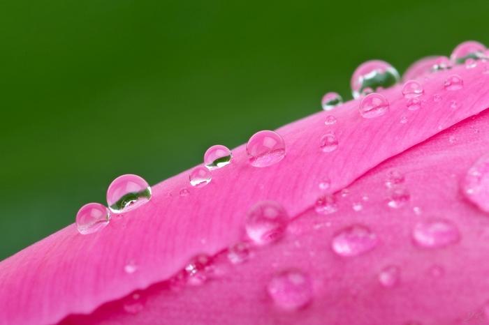 Розовое и зеленое Начинающий фотограф, Pentax, K10d, Тюльпаны, Розовый, Макро, Капли