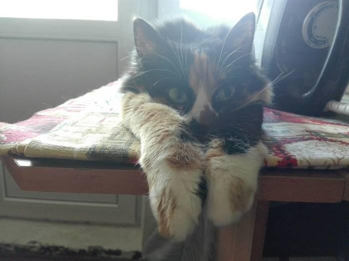 К глажке готов! Трехцветная кошка, Утюг, Глажка, Длиннопост, Кот, Котомафия