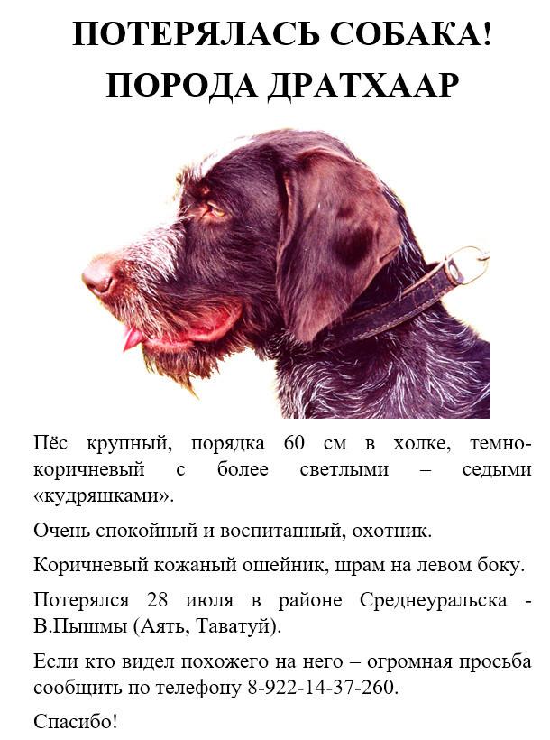 Екатеринбург - помогите найти собаку - порода Дратхаар. Пропала собака, Без рейтинга, Помощь животным, Екатеринбург, Верхняя Пышма, Помощь, Длиннопост, Собака