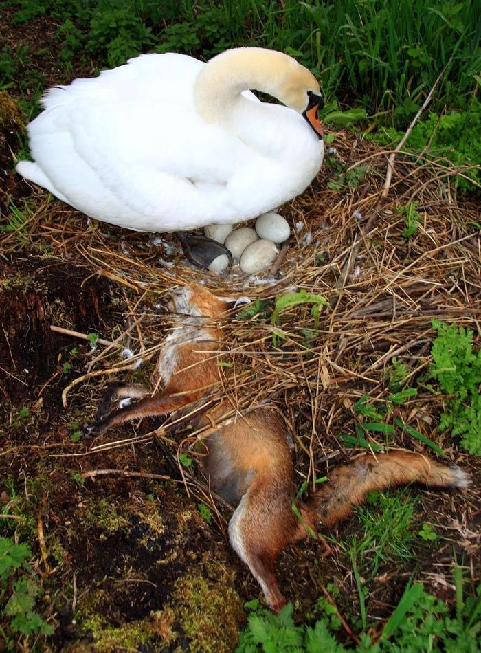 Боевая лебедь Дикая природа, Жестокий мир, Яжмать, Защищая дитя, Белый лебедь, Лиса
