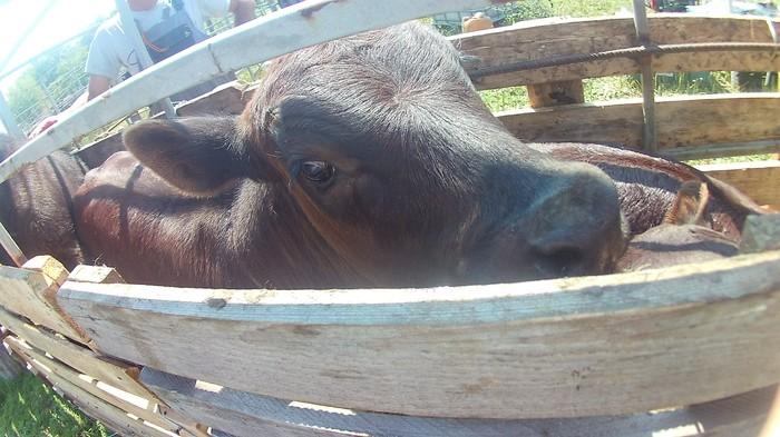 Кастрация. Ветеринария, Сельское хозяйство, Животноводство, Ветеринар, Длиннопост