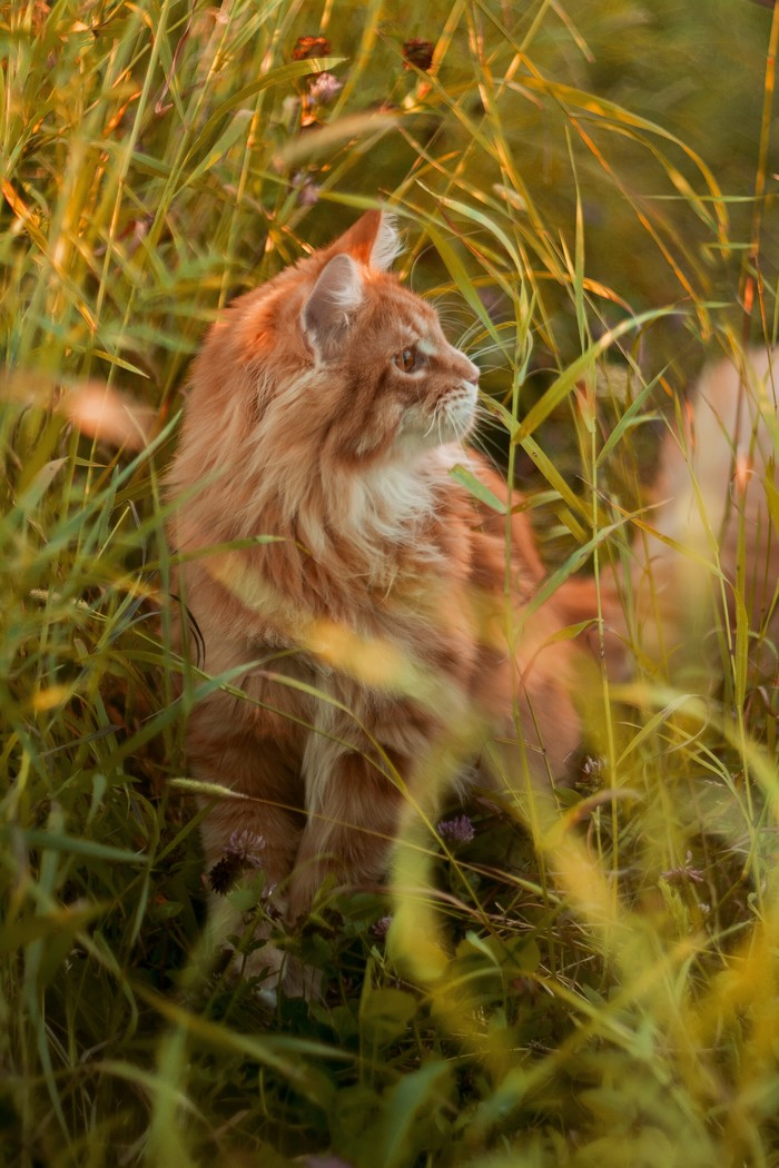 """Царь-кот"" Nikon d5200 Моё, Мейн-Кун, Nikon, Nikon d5200, Helios, Длиннопост, Кот"