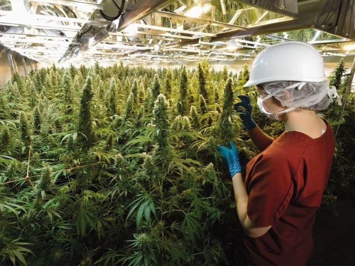 Производителей пива инвестирует 4 млрд долларов в выращивание марихуаны. Марихуана, Бизнес, Деньги, Новости, Длиннопост