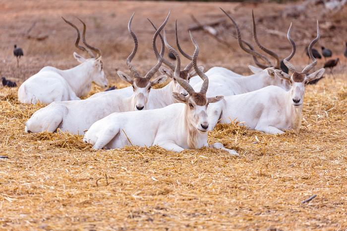 Белые антилопы Фотография, Животные, Антилопа, Сафари-Парк, Длиннопост