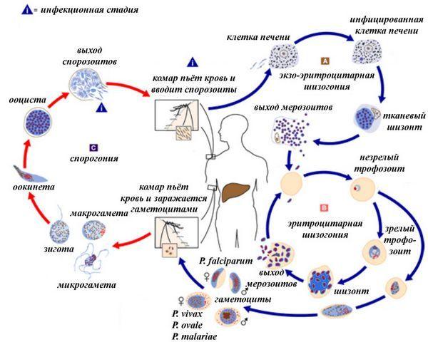 Малярия - [История Медицины]