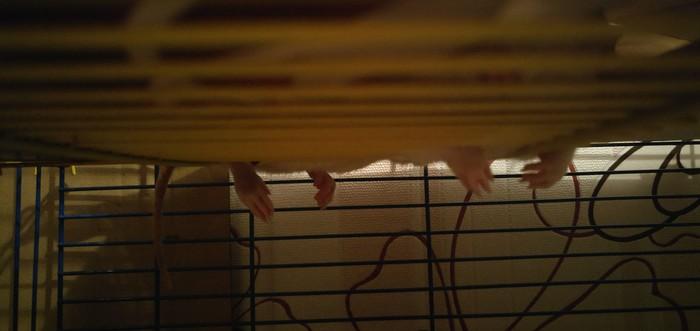 Да что вы вообще знаете об удобном сне?) Декоративные крысы, Крысиный сон