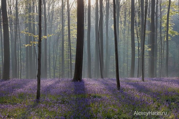 Сиреневый туман Бельгия, Весна, Гиацинты, Буковый лес, Туман, Цветы, Фотография