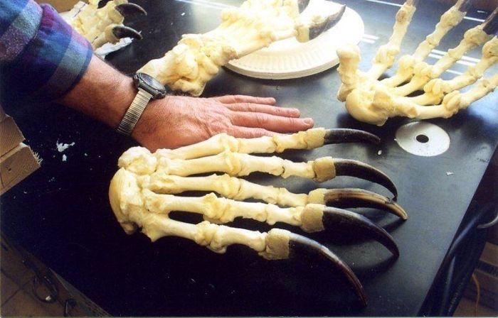 Медвежьи когти рядом с человеческой рукой