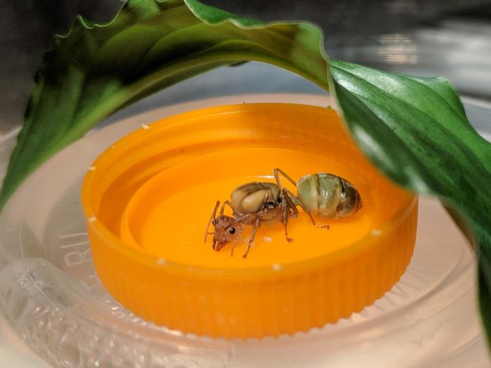 Гости из Таиланда, муравей-портной Муравьи, Длиннопост, Первый пост, Много букв