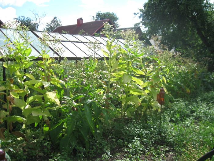 Выращиваем табак #8. Выращивание табака, Курение зло, Длиннопост