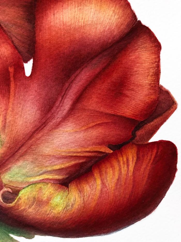 Тюльпан, акварель Акварель, Арт, Ботаническая иллюстрация, Рисунок, Творчество, Длиннопост, Цветы, Тюльпаны