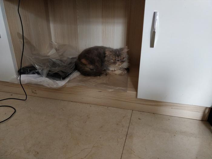 Пост. Про Котэ. Кот, Трехцветная кошка, Персидский кот, Пост по заявкам, Длиннопост