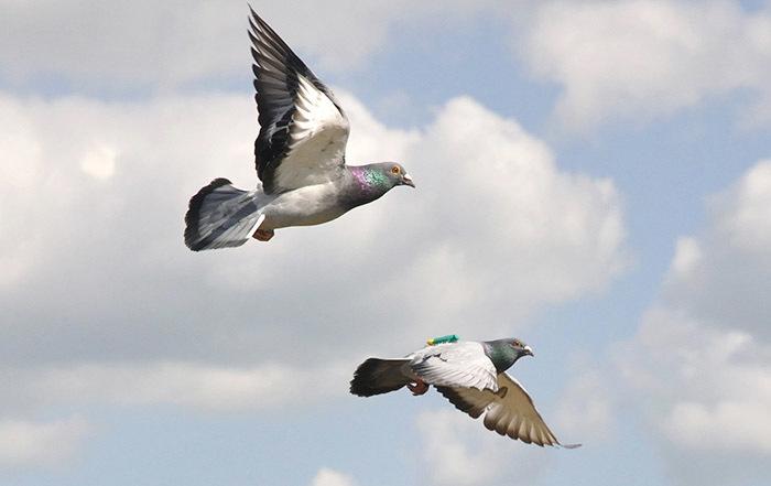 10 интересных фактов о голубях. Интересное, Факты, Голубь, Длиннопост