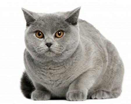 Британский кот ссыт