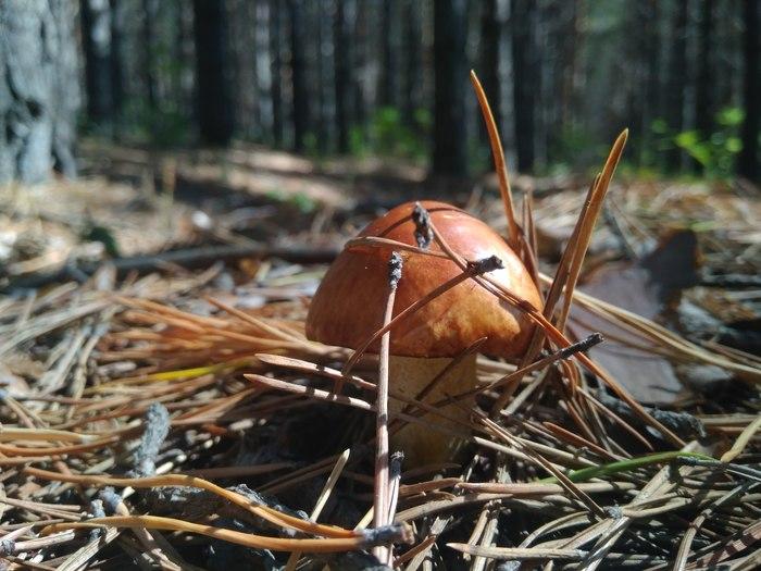 Маслёнок в лесу