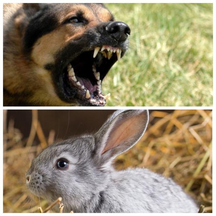 Собаки загрызли кроликов Собака, Кролик, Загрызли, Нападение собак, Без рейтинга, Лига юристов, Юридическая консультация