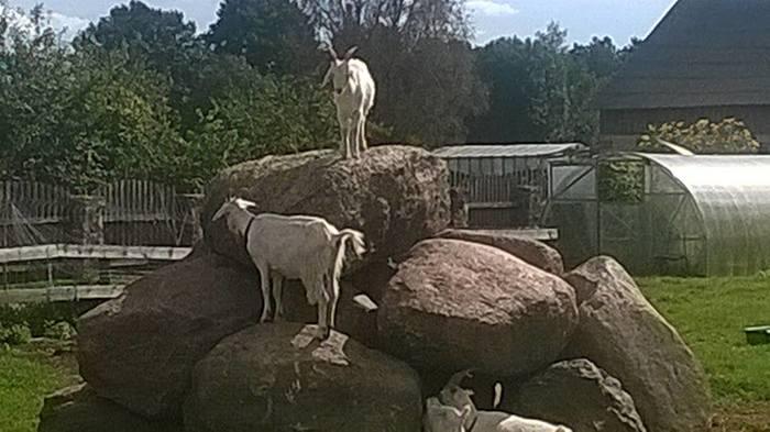 Четыре козла 2. История, Животноводство, Козел, Моё, Длиннопост