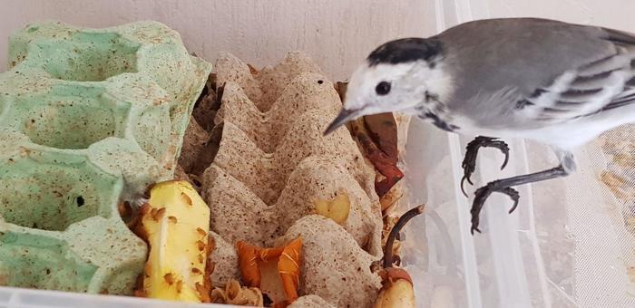 Разведение кормовых насекомых для певчих и насекомоядных птиц Насекомые, Тараканы, Мраморный таракан, Туркменский таракан, Аргентинский таракан, Мучной червь, Птицы, Трясогузка, Длиннопост