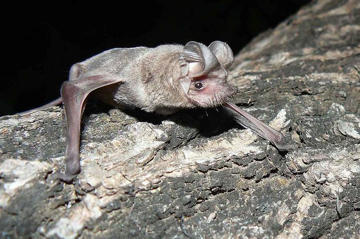 Что сделало летучих мышей неуязвимыми и смертоносными одновременно Летучая мышь, Бэтмен, Вирус, Инфекция, Наука, Биология, Чердак, Длиннопост